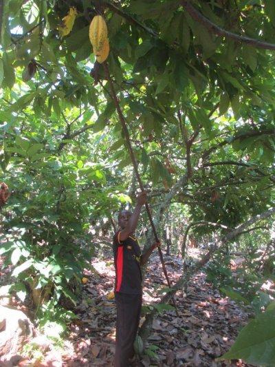 画像2: 1kg 直輸入!ウガンダ・カカオ生豆